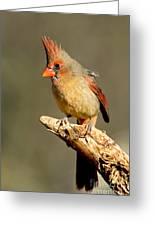 Northern Cardinal Cardinalis Cardinalis Greeting Card