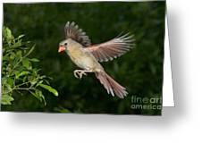 Northern Cardinal Hen Greeting Card