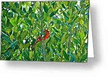 Northern Cardinal Hiding Among Green Leaves Greeting Card by Cyril Maza