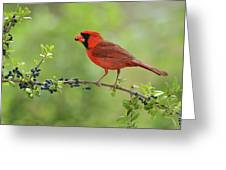 Northern Cardinal Male Eating Elbow Greeting Card