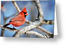 Northern Cardinal Scarlet Blaze Greeting Card