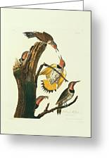 Northern Flicker Birds Greeting Card