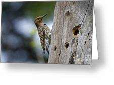 Northern Flicker Pictures 35 Greeting Card