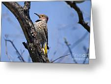 Northern Flicker Pictures 8 Greeting Card