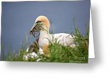 Northern Gannet Gathering Nesting Material Greeting Card