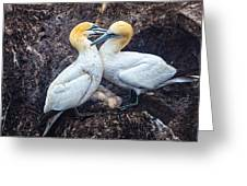 Northern Gannets And Chick 2 Greeting Card