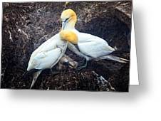 Northern Gannets And Chick Greeting Card