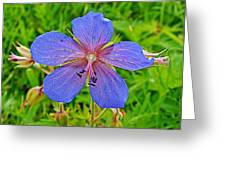 Northern Geranium In Jasper National Park-alberta  Greeting Card
