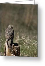 Northern Harrier At Rest Greeting Card