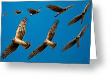 Northern Harrier Sequence Greeting Card