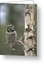 Northern Hawk Owl In The Spring Alaska Greeting Card