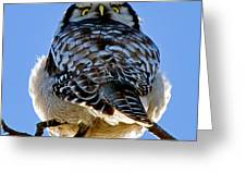 Northern Hawk Owl Looks Around Portable Battery Charger ...