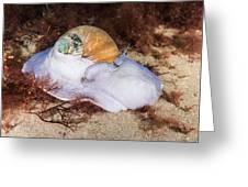 Northern Moon Snail Greeting Card