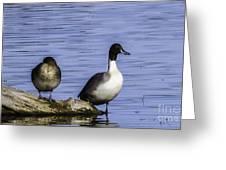 Northern Pintail Greeting Card