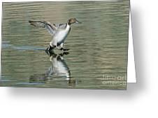 Northern Pintail Drake Tail Touching Greeting Card