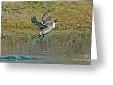 Northern Pintail Drake Taking Greeting Card