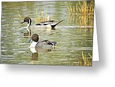Northern Pintail Ducks  Greeting Card