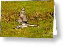 Northern Pintail In Flight Greeting Card