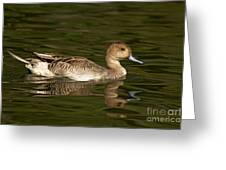 Northern Pintail Molting Greeting Card