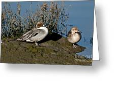 Northern Pintail Pair At Rest Greeting Card