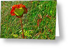 Northern Pitcher Plant In French Mountain Bog In Cape Breton Highlands-nova Scotia  Greeting Card