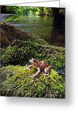 Northern Red-legged Frog Greeting Card