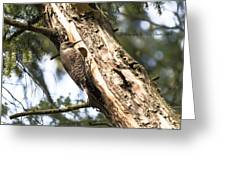 Northern Red Shafted Flicker Greeting Card