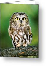 Northern Saw-whet Owl Aegolius Acadicus Wildlife Rescue Greeting Card