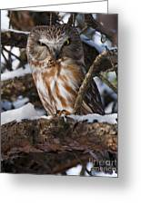 Northern Saw-whet Owl.. Greeting Card