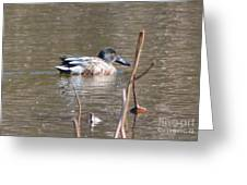 Northern Shoveler Duck  Greeting Card