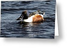 Northern Shoveler Greeting Card