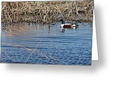 Northern Shoveler Swim Greeting Card