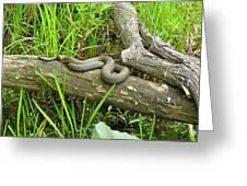 Northern Water Snake - Nerodia Sipedon Greeting Card