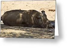 Northern White Rhinoceros - Ceratotherium Simum Cottoni Greeting Card