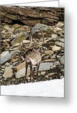 Norway, Troms Male Reindeer (rangifer Greeting Card