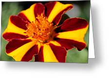 Novelty French Marigold Named Mr. Majestic Greeting Card