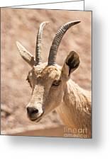 Nubian Ibex Capra Ibex Nubiana 1 Greeting Card