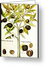 Nutmeg Plant Botanical Greeting Card