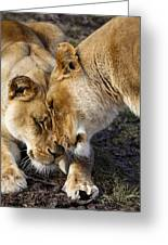 Nuzzling Lions Greeting Card