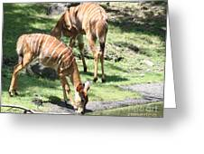 Nyalas At The Watering Hole Greeting Card