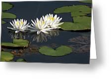 Nymphaea Odorata - Fragrant White Waterlilies Greeting Card