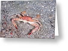 Ocellate Swimming Crab Greeting Card