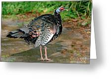 Ocellated Turkey Greeting Card