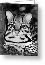 Ocelot In Repose Greeting Card