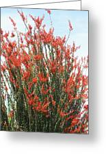 Ocotillo After A Heavy Rain Greeting Card