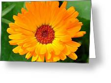 October's Summer Sunlit Marigold  Greeting Card