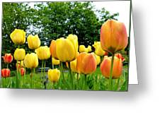 Okanagan Valley Tulips Greeting Card