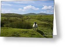 Okehampton Sheep  Greeting Card