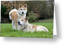 Old And Young Akita Inu Greeting Card
