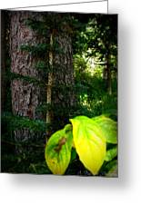 Old And Young Growth Firs Greeting Card